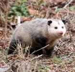 Possum Pests