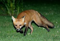 Fox-in-Garden