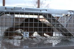 Trapped squirrel unharmed in a Havahart two-door squirrel trap