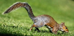 Wild squirrel running away from repellent