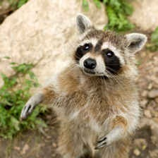 How To Get Rid Of Raccoons Naturally Pest Control Products