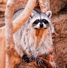 Raccoons in the wild