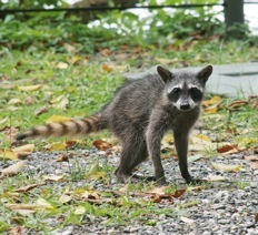 Deadly Diseases Spread By Raccoons Pest Control Products