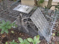 Raccoon in trap2