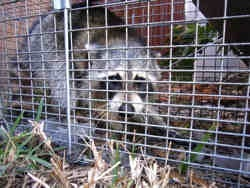 Raccoon in trap3