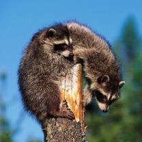 Raccoons-1
