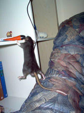 Rat in Bedroom
