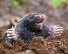 Fifteen Facts About Moles Pest Control Products