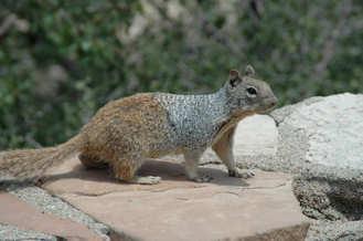 Squirrel on a rock