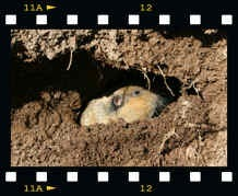 Gopher in its burrow