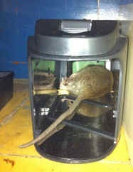 Dead rat caught in an electronic trap