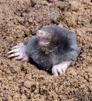 Learn how to trap moles in your backyard