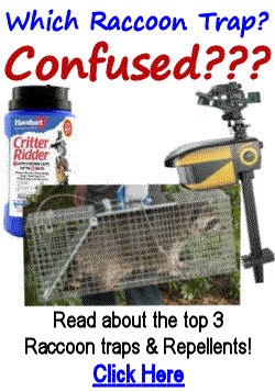Best Raccoon Repellents & Traps