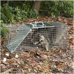 You have to admit, even a trapped raccoon still looks cute.