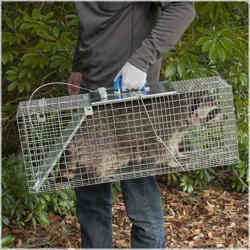 Top 3 Raccoon Traps
