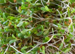 alfalfa-greens