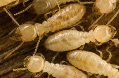 Termites wrecking your home