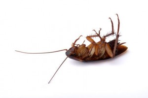 What you need to know about cockroaches
