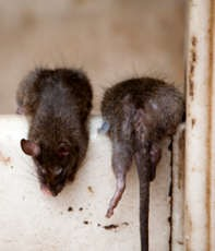 How To Get Rid Of Mice Without Harming Dogs