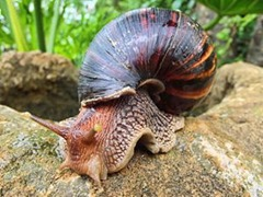 Giant African Land Snail with a dark brown shell