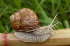 Common or brown garden snail looking for food