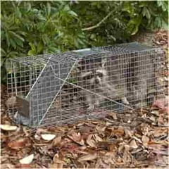 Raccoon in a Havahart 1079 trap