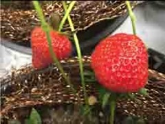 Copper mesh protecting strawberries