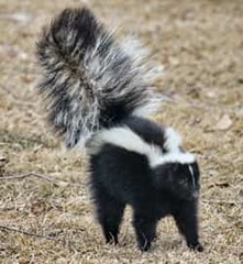 skunk with its tail up