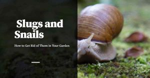 Getting Rid of Slugs and Snails in Your Garden