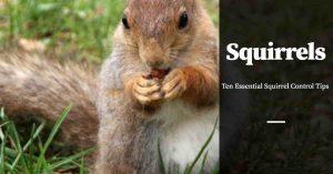 Squirrel Control Tips