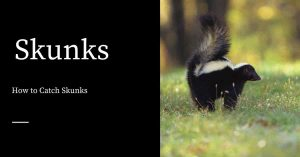 Catching Skunks
