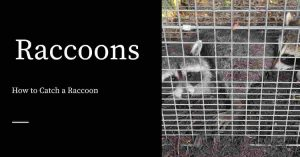 Catching Raccoons