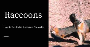 Natural Methods for Getting Rid of Raccoons