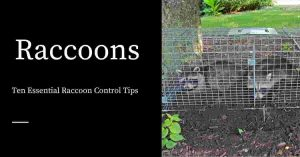 Raccoon Control Tips