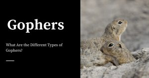 Types of Gophers