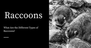 Different Types of Raccoons
