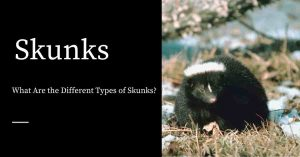 Types of Skunks