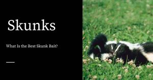 Best Skunk Bait