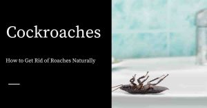 Getting Rid of Roaches Naturally