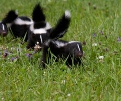 Skunks in the garden