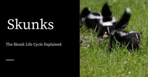 Skunk Life Cycle